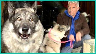 Aggressive German Shepherd BITES Cesar Millan | Cesar 911