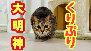 お尻をぷりぷり振りながら遊ぶ猫がかわいい!