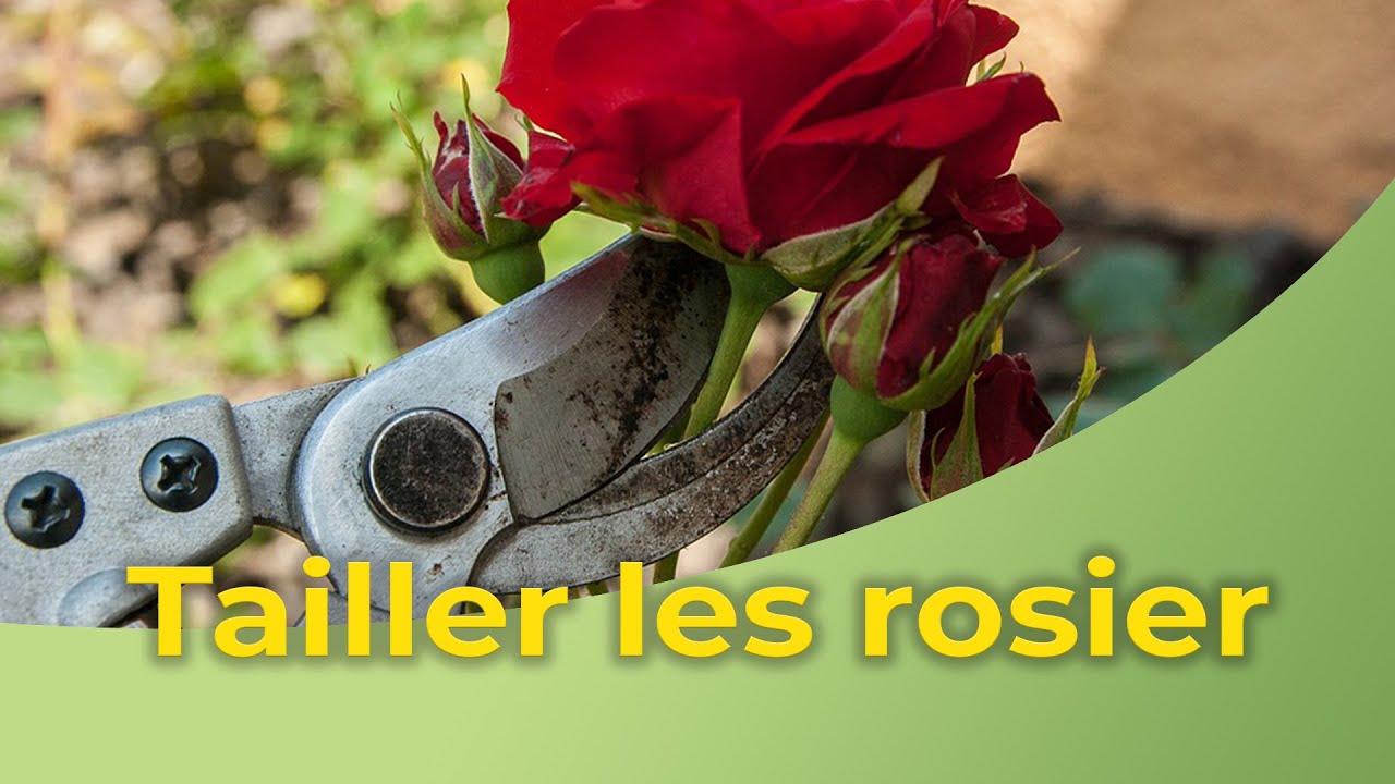 Quand Et Comment Tailler Un Rosier comment tailler les rosiers