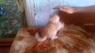 Тупой котенок