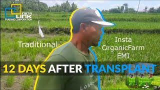 12 days after transplant using the Insta OrganicFarm Enhanced MIcrobial Inoculant (EMI)