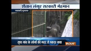 Forest dept managed to capture baboon who attacked people in Navsari, Gujarat