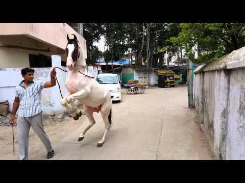 Nagpur wedding horse 9822728181