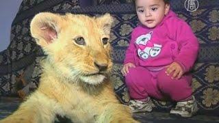 видео Орангутанг усыновил двух львят