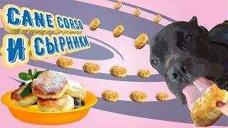 Собака Кане Корсо любит сырники  #canecorso #dogs