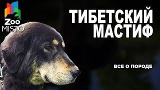 Тибетский Мастиф - Все о породе собаки | Собака породы - Тибетский Мастиф
