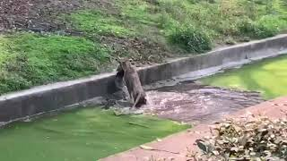 Lion Savagely Attacks A Peacock At The Zoo