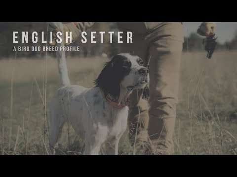 English Setter - Bird Dog Breed Profile