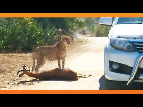 Cheetah Kills Impala That It Chased Into Car