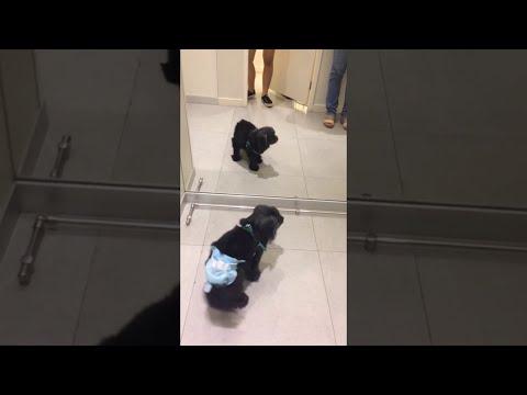 Mirror Makes Diapered Dog Mad || ViralHog