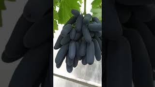 Виноград \