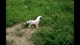Китайская хохлатая собака щенок