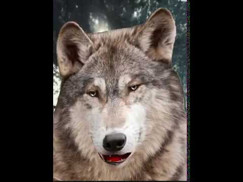 Laughing Wolf Youtube
