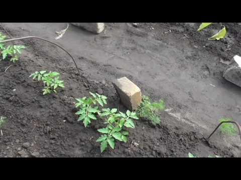 Безрассадные помидоры через полтора месяца после посева