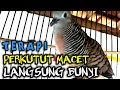 Perkutut Lokal Macet Langsung Bunyi Suara Burung Perkutut Lokal  Mp3 - Mp4 Download