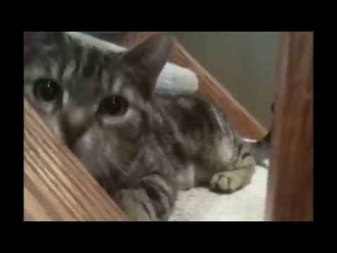 American Shorthair Leapord Cat - Gentle Attack, Cute Stalking