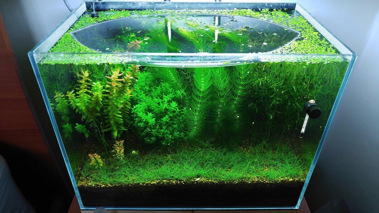 9-months-update-saving-amano-larvae-no-filter-no-co2-no-ferts-5-gallon-nano-tank