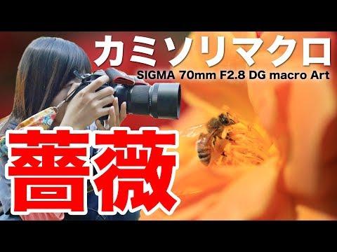 【レビュー】SIGMA 70mm F2.8 DG MACRO ART「カミソリマクロ」で薔薇を撮る【ともよ。】