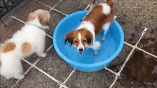 ジャックラッセルテリア ピースとコーイケルホンディエ ルーナの水遊び ...