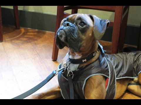Klippy - Boxer- 3 Week Residential Dog Training at Adolescent Dogs