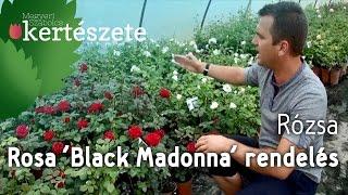 видео Чайно-гибридная роза Мадонна