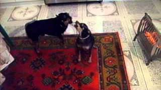 как собаки реагируют на звук новостей на нтв.AVI