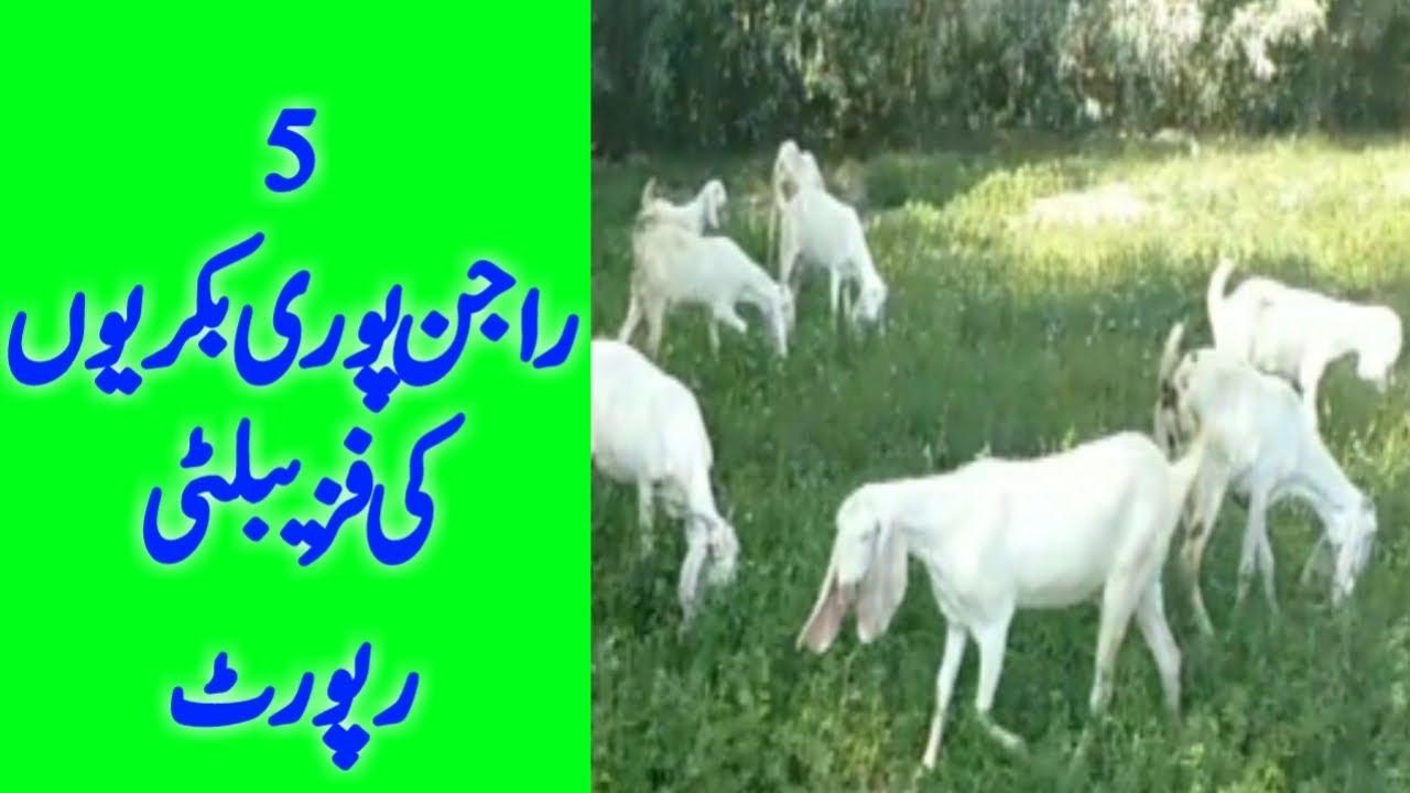 Rajanpuri Goat Farming business | Rajan puri bakri Farm banane ka tarika