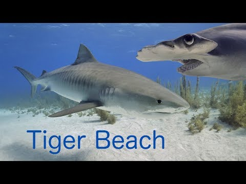 The Ultimate Tiger Beach Video In Full HD - Plus Shark ID