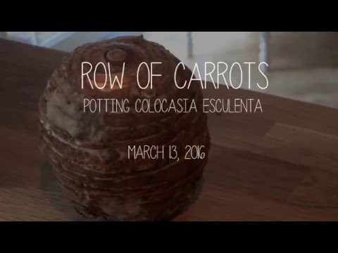 March 13, 2016 Timelapse - Colocasia esculenta