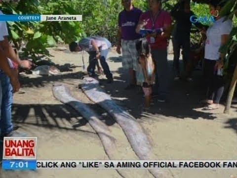 UB: Dalawang patay na oarfish, natagpuan sa baybayin