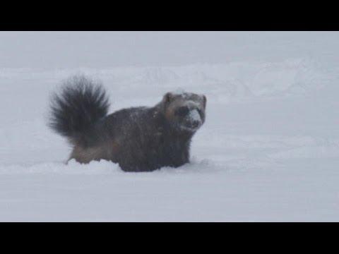 Rare wolverine footage