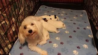 Coton Puppies For Sale - Kiwi 9/23/21