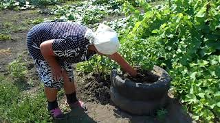 Огород Валентины. 1июля 2020г.  Урожай картофеля. Виноград, выращенный из косточки.