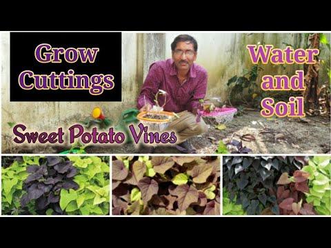 How to grow sweet potato vine houseplant