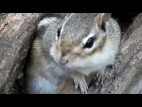 a short guide to chipmunk noises national geographic