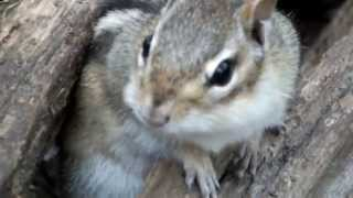 Chipmunk Arial Predator Warning (was Chipmunk Mating Call)