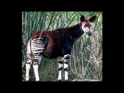 Focus on Species: Okapi (Okapia johnstoni)