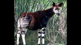 Focus on Species: Okapi (Okapia johnstoni)