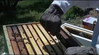 Pčelarstvo Damir Tafra - Nukleusi