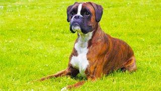 Боксер особенности породы и дрессировка Собаки от А до Я DOGS FROM A TO Z