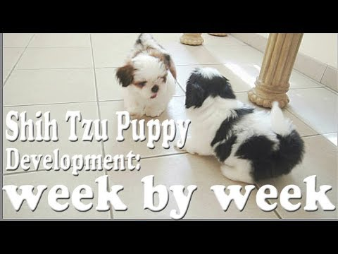 Shih Tzu Puppy Development: Week By Week