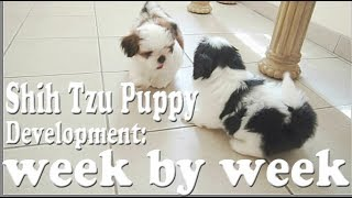 Shih Tzu Puppy Development: week by week