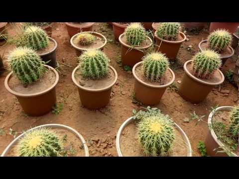 Echinocactus Grusonii (Golden Barrel Cactus) Plant