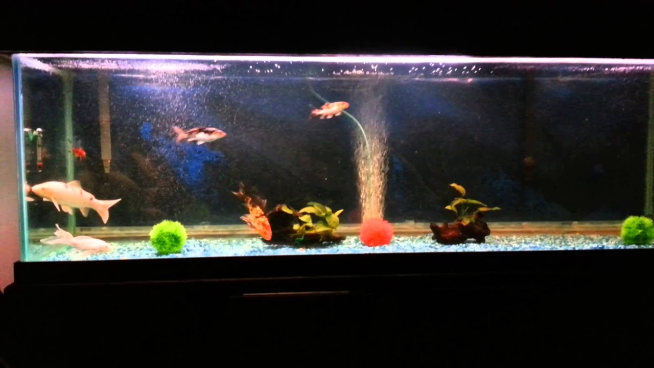 Koi Fish Tank Youtube