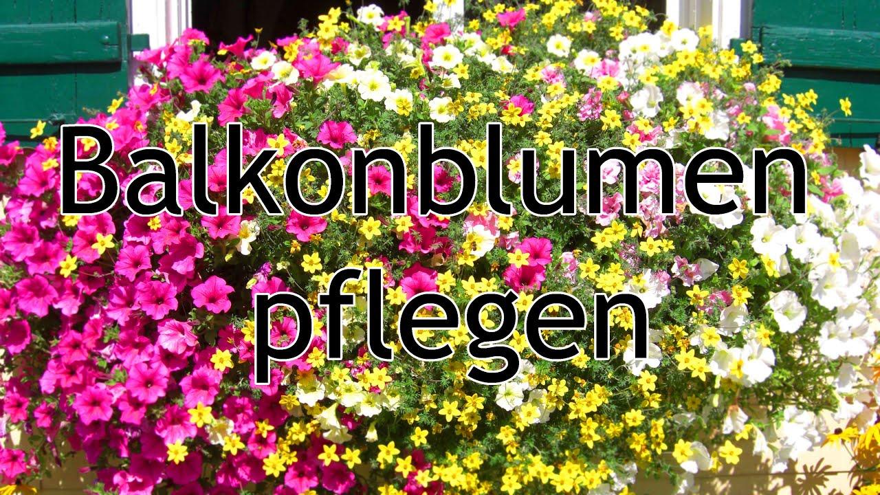 Balkon Blumen Hangend Elfenspiegel Trio Rot Gelb Weiss Sunsatia Trio