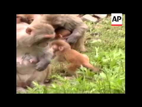 New research reveals monkey mothers interact with their infant babies in much the same way human mom