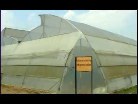 Tomato cultivation in the polyhouse पॉलीहॉउस में टमाटर की खेती (टमाटर की संरक्षित खेती) Part-II