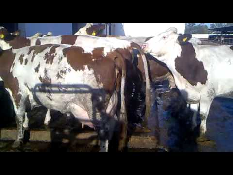 Red Holstein cattle, The morocco