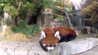 Red Panda Cubs Step Out for the First Time at Lincoln Park Zoo