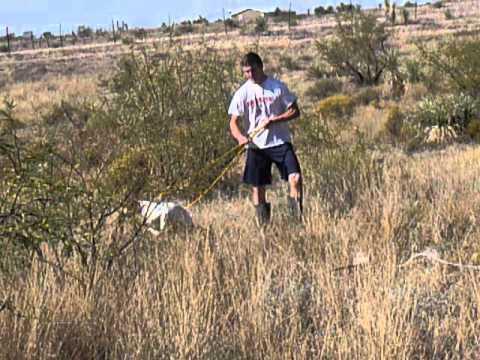 Elhew English Pointer For Sale Pheasent Hunting Bird Dogs Elhew
